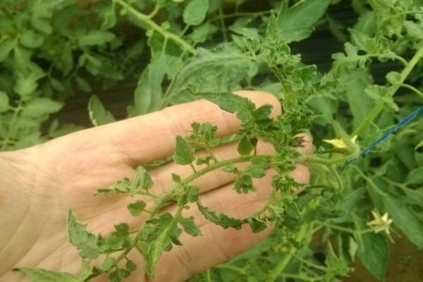 Почему скручиваются листья у томата?