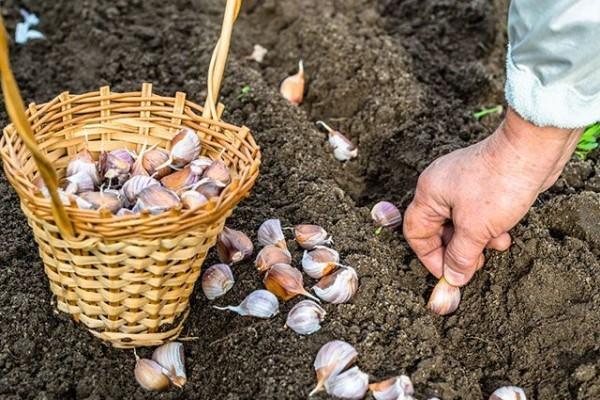 Настал сезон озимых. Как лучше посадить лук и чеснок