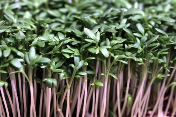Мини-огород в квартире: как выращивать микрозелень