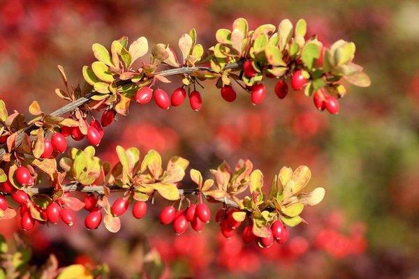 Как вырастить барбарис для ягод