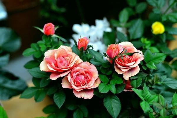 Как ухаживать за розами, купленными в магазине
