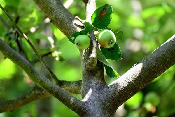 Как избавиться от лишайников и мха на плодовых деревьях