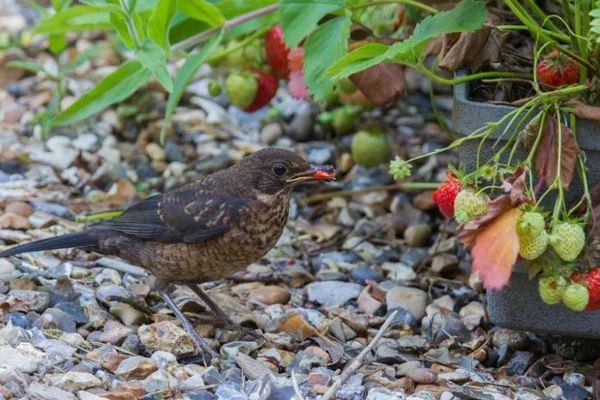 Птицы клюют клубнику – что делать: камни-обманки и земляничный стол