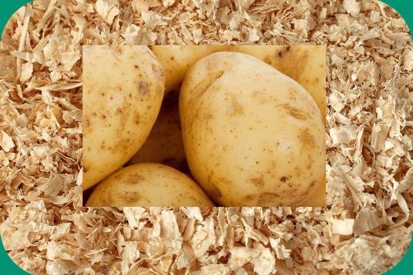 Как вырастить картофель на опилках и любопытный лайфхак от бывалых огородников