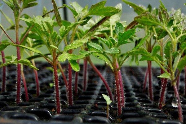 Чай для рассады помидоров без риска грибных комариков – поливать или закапывать