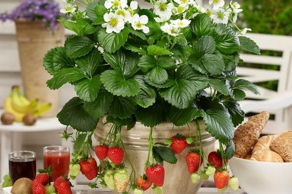 Выращиваем ампельную клубнику