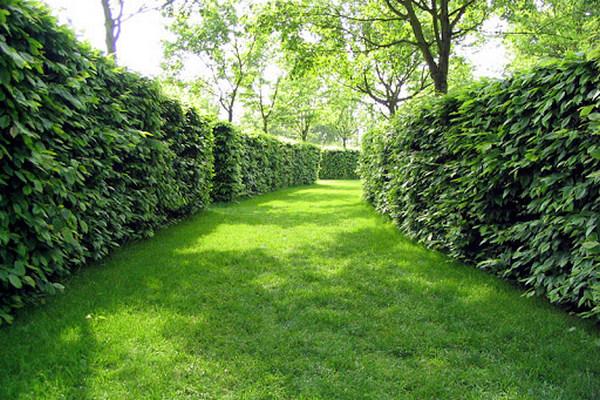 Живая изгородь – настоящее украшение сада