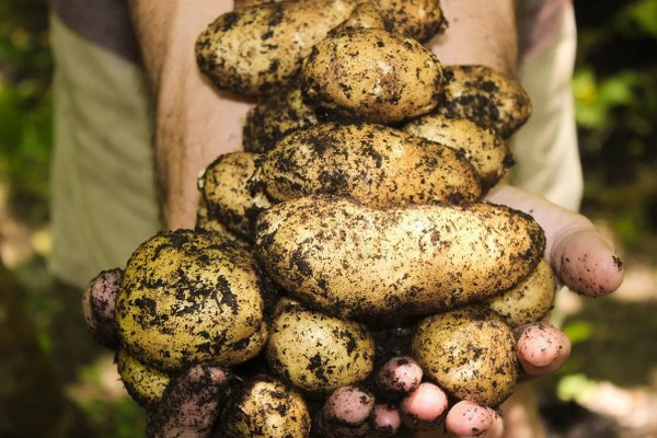 Чем подкормить картофель во время посадки, чтобы получить обильный урожай