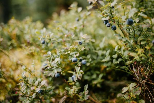 Полезные советы по посадке садовой голубики и ухода за ней