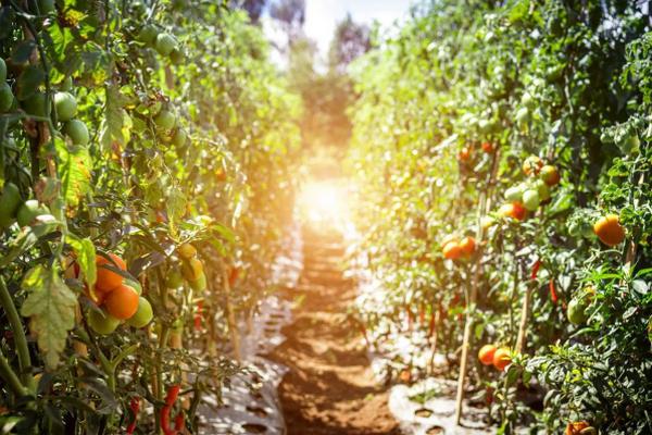 Эти несколько простых советов помогут увеличить урожай томатов в открытом грунте вдвое