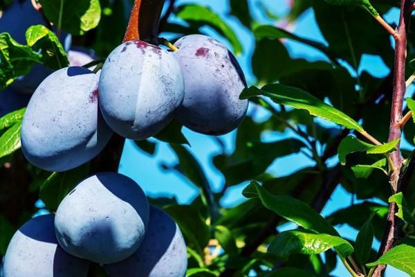 Правила посадки сливы, которые помогут вырастить здоровое дерево с сочными и вкусными плодами