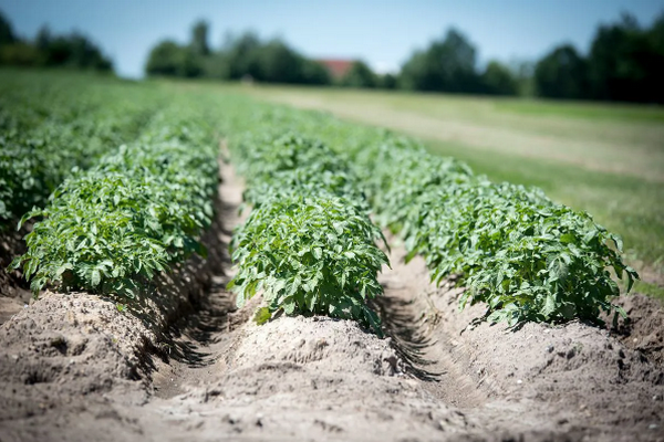 Какой размер картофеля лучше использовать для посадки и другие важные факторы выбора