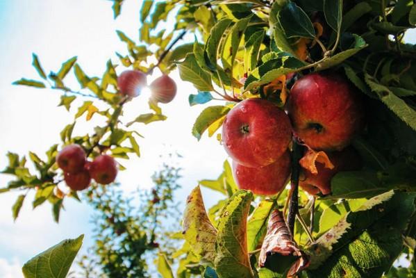 Что делать, если яблони выросли большими, но не плодоносят