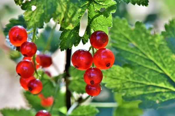 Как вылечить смородину с помощью соды: советы садоводам