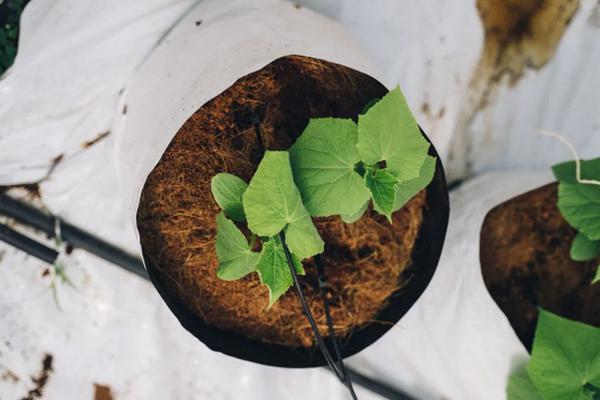 Можно ли подсыпать свежую землю в горшки с рассадой огурцов для улучшения корнеобразования