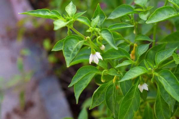 Что делать, чтобы огородный перец быстрее начал цвести и плодоносить