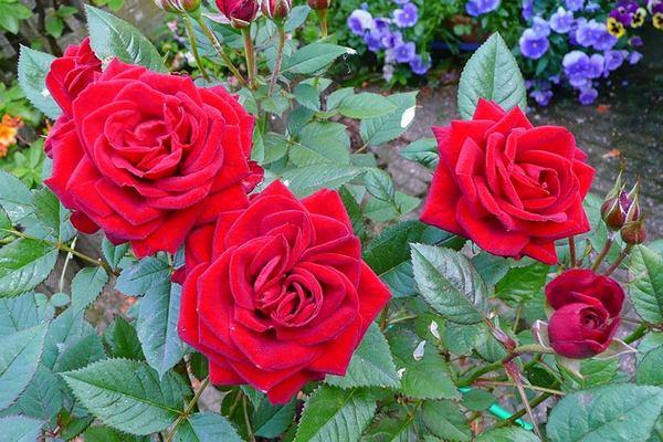 4 полезные советы по уходу за розами в апреле – мае