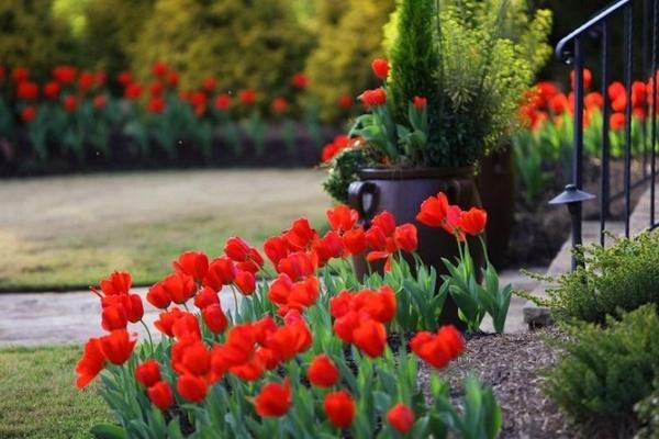Причины, почему тюльпаны становятся мельче: что делать