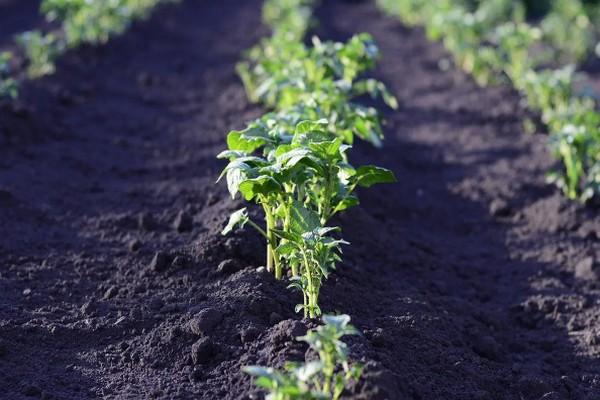 Уход за картофелем после посадки весной: первое окучивание и подкормки