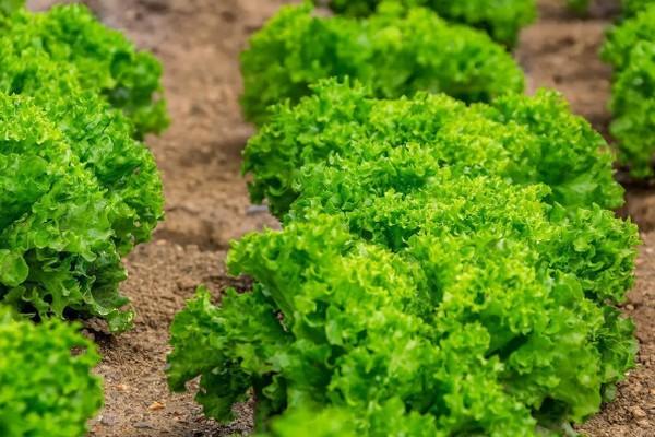 Полезные советы по выращиванию салата на огороде