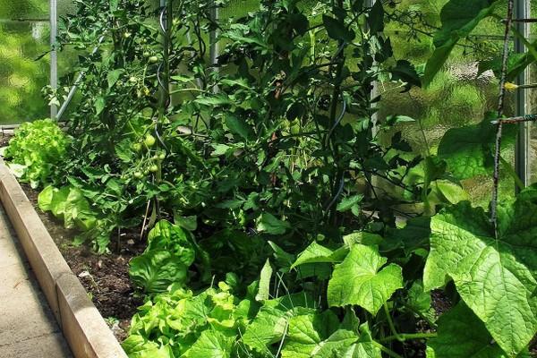 Зачем сажать огурцы среди помидоров: причины и как это делать