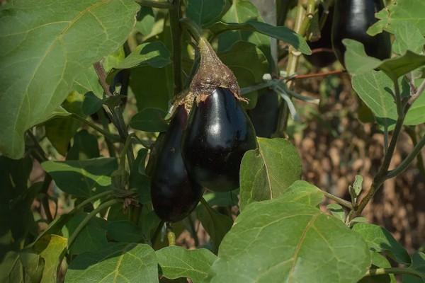 Как высаживать рассаду баклажанов в открытый грунт: хитрости садовника