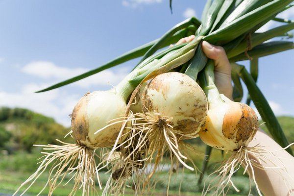 Как выращивают лук-репку из семян за один сезон