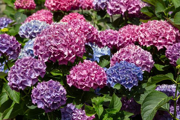 Вы и не догадывались: 4 совета, которые помогут вырастить в саду красивую гортензию