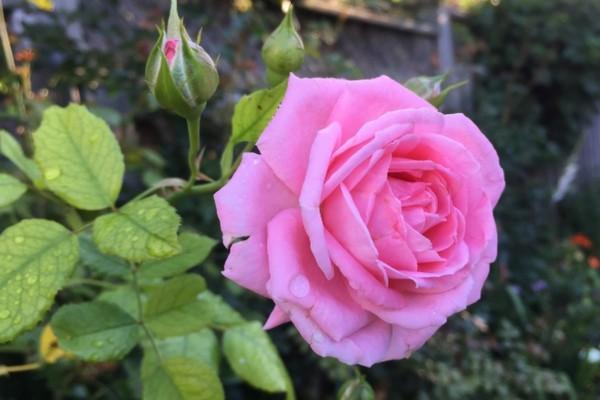 Розы. Как заставить цвести долго.