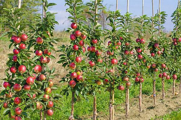 Карликовые деревья: посадка и выращивание