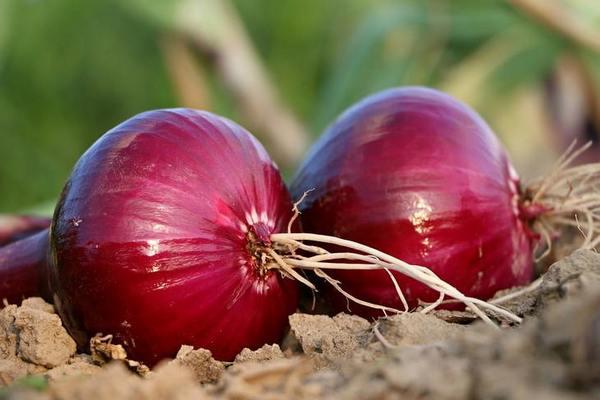 Что посадить после лука сразу для второго урожая – 3 варианта трансформации грядки