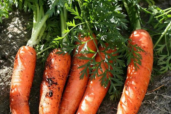 Какую жару переносит морковь и лайфхаки по уходу