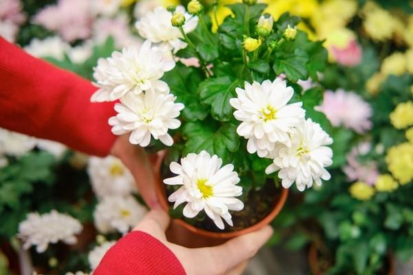 Полезные советы по выращиванию домашних хризантем в горшке