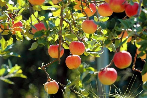 Подготовка яблонь к зиме: уход за яблонями осенью